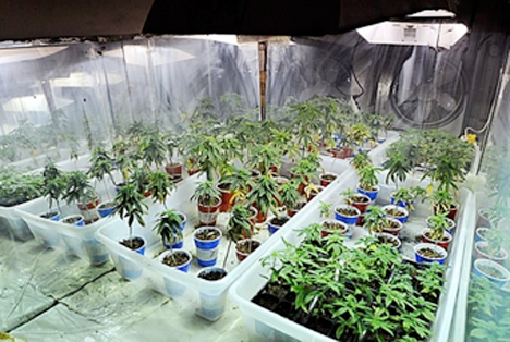 MedHelp - MSMA - Figure 2 - Marijuana Indoor Growing