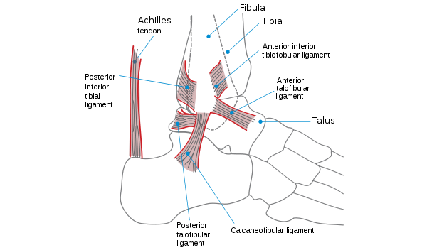 The Ankle - Ligaments and Tendons